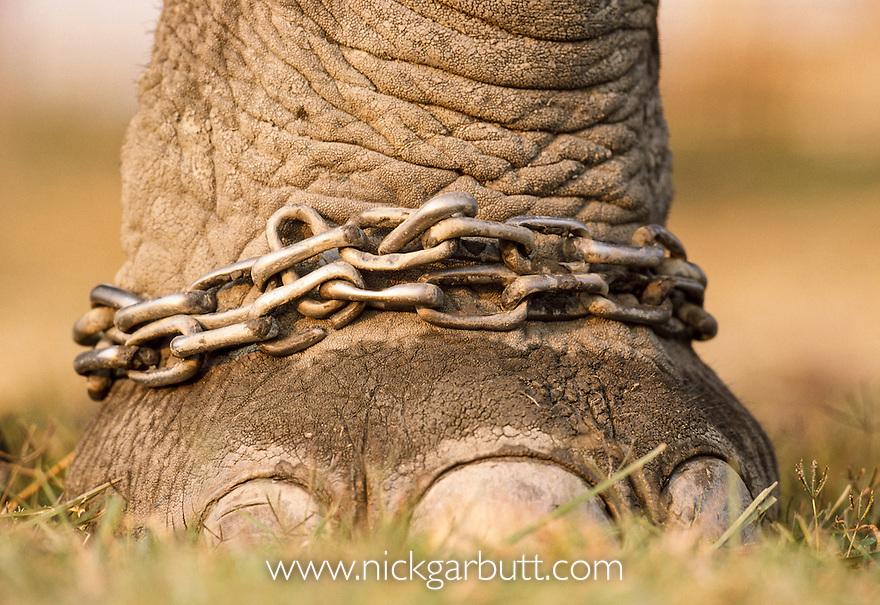 Close up of chained / shackled foot of domestic Indian Elephant (Elephas maximus), Kaziranga National Park, Assam, India.