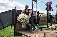 Shearing sheep<br /> &copy;Tim Scrivener Photographer 07850 303986<br /> ....Covering Agriculture In The UK....