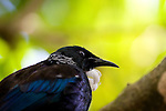 "Tui, photographed on Tiritiri Matangi. Tui - known in English as the ""Parson Bird"" because of its white ruff. Spotted this on in a tree while on Tiri Tiri Matangi. They're quite plentiful on the island, and make lots of noise.They're clever birds, can can mimic lots of things - including humans and mobile phones - thank to their two voiceboxes! Some of the sounds they make are inaudable to humans - they're outside our spectrum of hearing. They're also quite agressive - I did see them involved in many tussles with each other as well as other species of birds on Tiritiri."
