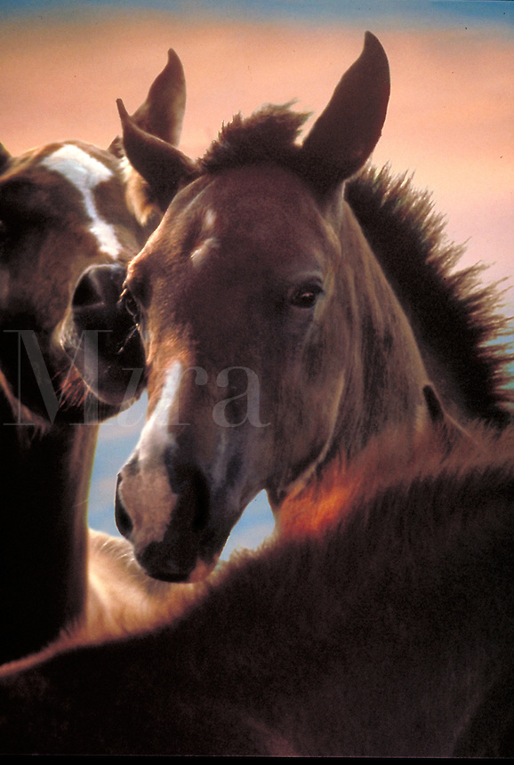 Close up of two Arabian foals nuzzling. Vertical. horse, horses, animals, special effects, photo montage.