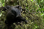 Africa, Uganda, Kibale National Park, Ngogo Chimpanzee Community. Wild Chimpanzee, Male eating figs, Ficus capensis