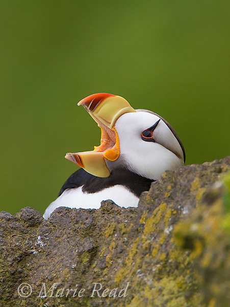 Horned Puffin (Fratercula corniculata), close-up with open bill (yawning), St. Paul Island, Pribilofs, Alaska, USA. The rearward-facing spines visible on its palate enable it to carry multiple fish at once.