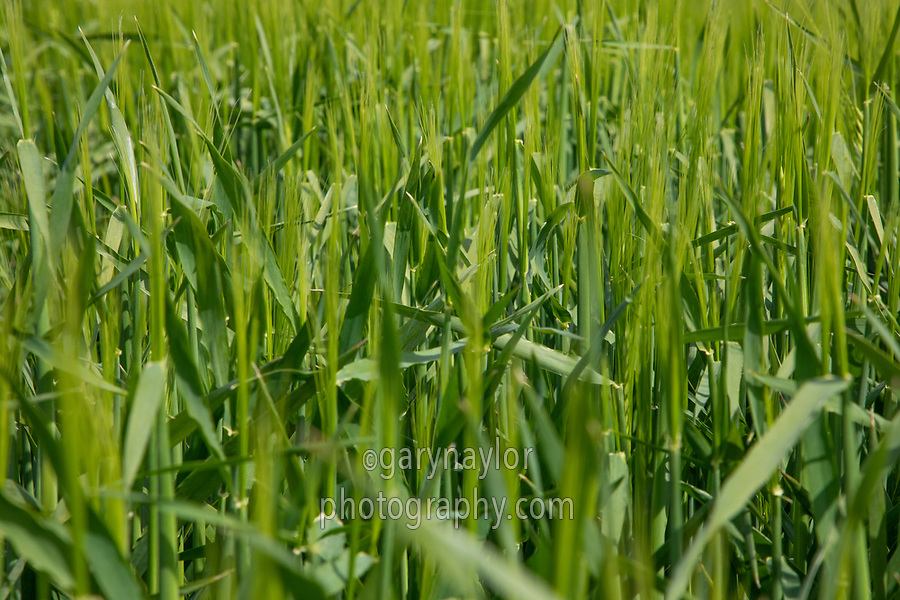 Winter barley coming into ear - Lincolnshire, April