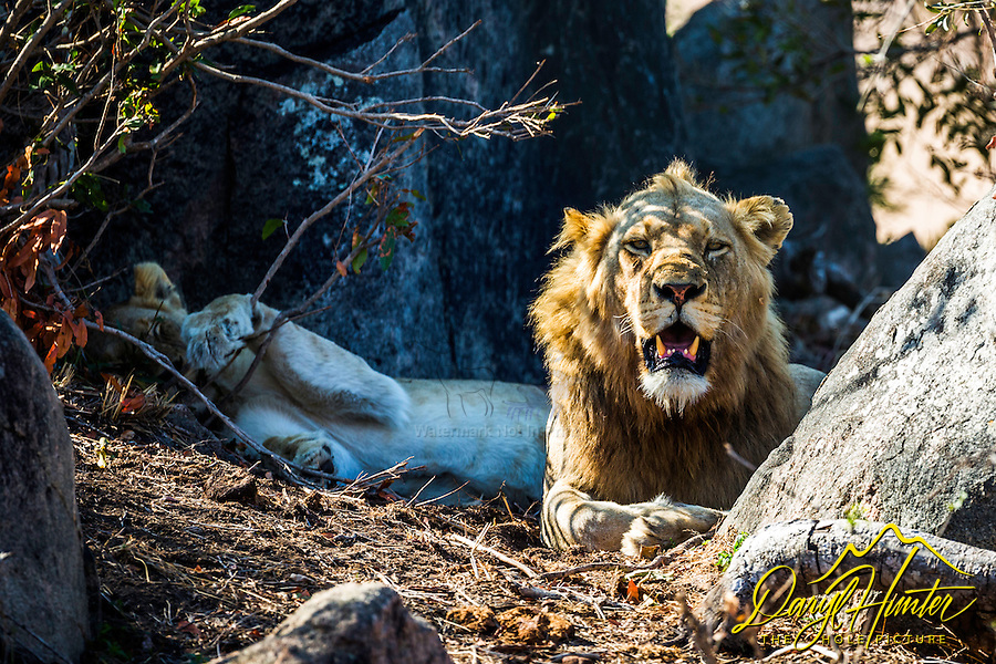 A male lion takes a break from breeding duties in Kruger National Park.  When breeding lions mate about 2.5 times per hour.