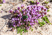 Sweden, Gotska Sandön national park, Bredandsudden. Thymus serpyllum and a green beetle, Cetonia aurata.