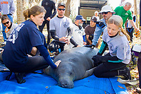 Florida Manatee, Trichechus manatus latirostris, A subspecies of the West Indian Manatee. A female manatee and her calf are readied for release into Three Sisters Springs after a brief period of rehabilitation by biologists and volunteers. Crystal River, Florida. No MR