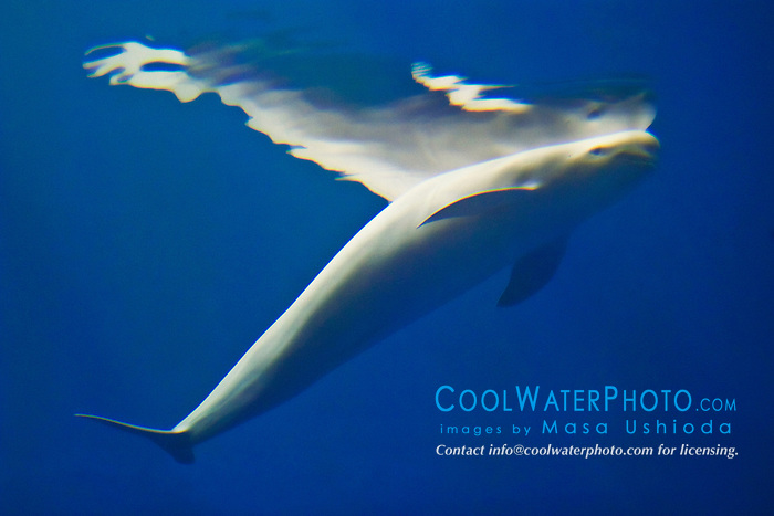 finless porpoises, Neophocaena phocaenoides, Info-Pacific Ocean (c)