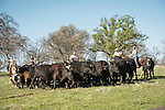Calf branding and marking with the Busi family at their ranch near Jackson, Calif.