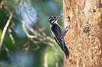 Dreizehenspecht, Weibchen an der Bruthöhle, Picoides tridactylus, Slowensky Raj, Slowakei / Three-toed Woodpecker, female at nest, Slowensky Raj, Slovakia