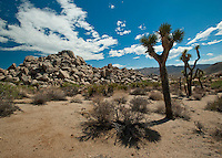 Joshua Trees. Mormon settlers named these tall Yucca's after Joshua reaching toward the sky in prayer. I like the visual and whenever I'm in the Mojave Desert I look around at all the fitfully praying stick men.