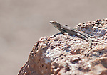 Side-blotched lizard, Uta stansburiana, near Saratoga Spring in Death Valley National Park, California