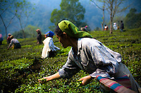 At the crack of dawn, workers are seen plucking tea by hand. The plucking workers are mostly ladies, as they are known to be more accurate and precise when plucking high-grade tea. High-grade tea is plucked at a certain length with only two or three of the youngest leaves and it is kept undamaged.