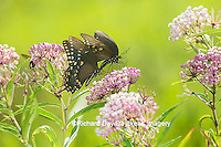 03029-01501 Spicebush Swallowtail Butterflies (Papilio troilus) male and female on Swamp Milkweed (Asclepias incarnata), Marion Co., IL