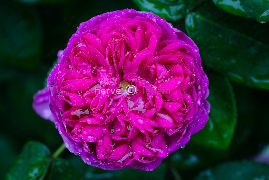 Rose 'Rose de Rescht''