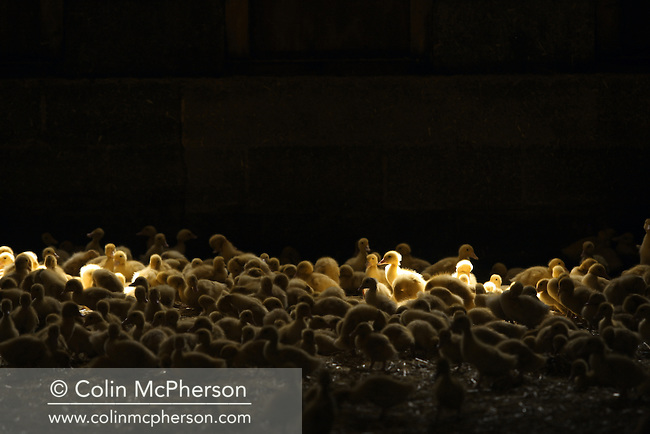 Ducklings housed in a barn at Goosnargh, in Lancashire, northwest England. The plant belongs to Johnson and Swarbrick, a business which rears 2700 ducks and 1200 corn-fed chickens each week. The poultry at the farm is fed with a special corn recipe which Johnson and Swarbrick designed with the help of a nutritionist.