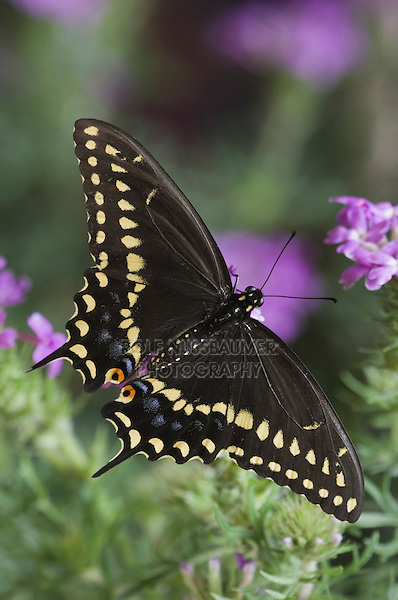 Black Swallowtail, Papilio polyxenes, adult on Prairie Verbena (Verbena bipinnatifida), Uvalde County, Hill Country, Texas, USA, April 2006