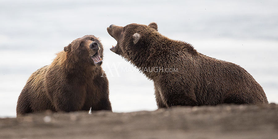 I was fortunate to see a little bit of action on my final day when a subadult bear approached a sow and her two cubs. Chases and some brief fighting ensued.