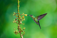 A female Green-crowned Brilliant (Heliodoxa jacula), feeds on the nectar of a tropical Rubiaceae plant, Costa Rica, Central America