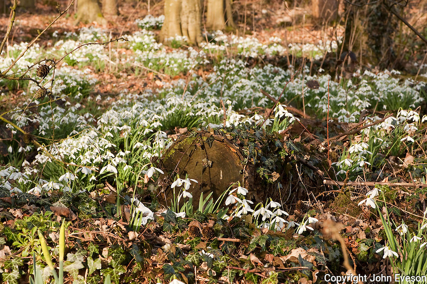 Common snowdops, Galanthus nivalis, in a wood, Chipping, Lancashire.