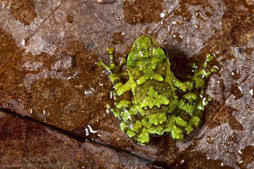 Rot-hole tree frog (Platypelis grandis)  juvenile. Masoala Peninsula National Park, north east Madagascar.