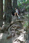 A hiker near exposed tree roots at Muir Woods National Monument, California