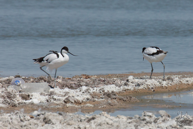 Two pied avocets walking in next to a waterhole in Etosha National Park, Namibia