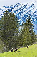 Grizzly Bears foraging roots and small yellow flowers in the mountains of Wyoming. <br />
