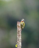 An endemic Cuban Green Woodpecker (TXiphidiopicus percussus) at a favored lookout perch in Hacienda Cortina, Pinar del Rio Province, Cuba