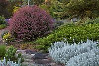Berberis thunbergii 'Rose Glow' (Barberry) with Microbiota decussata (Siberian Carpet Cypress)  Albers Vista Gardens