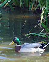 Mallard drake in cattails, Pulaski County, Arkansas.