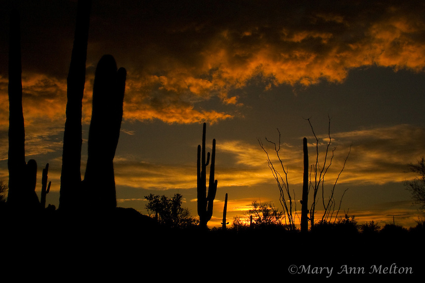 Winter Sunset in Saguaro National Park, Tucson, Arizona