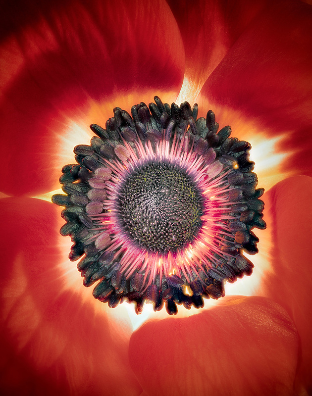 Close up of red Anemone flower. Oregon