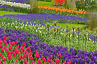 Pattern of tulips hyacinth, and Grape Hyacinth flowers, Keukenhof Gardens, Lisse, Netherlands