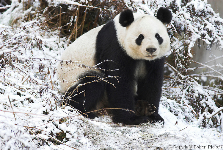 Giant Panda, Ailuropoda melanoleuca, sitting in snowy landscape, Wolong Research and Conservation Centre, Sichuan (Szechwan) Province Central China, can handle bamboo with great dexterity with extended sesamoid bone in wrist which acts like false thumb, r