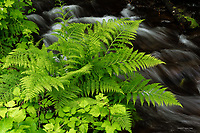 Lady Fern, Cape Perpetua, Oregon