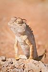 Namaqua desert chameleon, northwest Namibia.