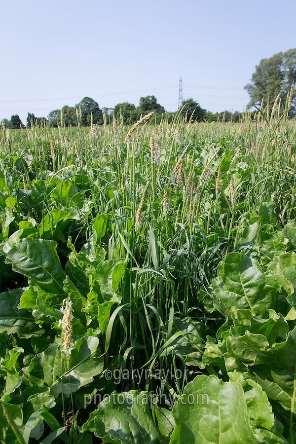 Black grass in sugar beet - Lincolnshire, July