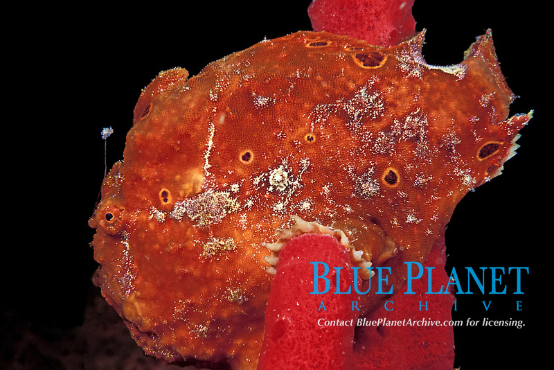 longlure frogfish or anglerfish, Antennarius multiocellatus, on red rope sponge, showing lure, or esca, used to attract prey, Commonwealth of Dominica (Caribbean Sea) , Atlantic