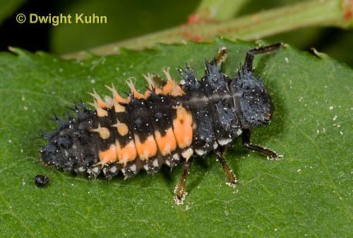1C02-508z  Asian Ladybug Larva, Harmonia axyridis