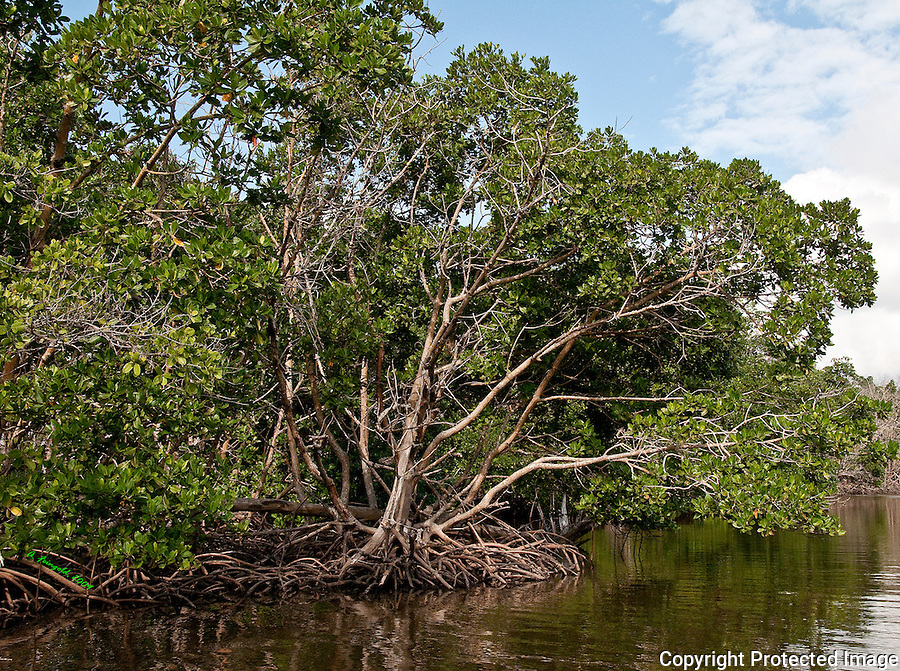 Mangroves, Flamingo Park, Florida Everglades National Park, Everglades Canal<br /> <br /> CLICK ON ADD TO CART ABOVE TO SEE AVAILABLE STYLES, SIZES AND PRICES