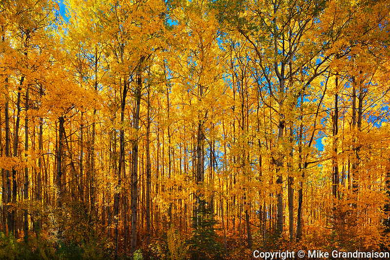 Autumn colors in aspen forest, Prince Albert National Park, Saskatchewan, Canada
