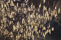 Gewöhnliche Hasel, Haselnuß, Haselnuss, Männliche Blüten - Kätzchen, Blütenkätzchen, Corylus avellana, Cob, Hazel, Coudrier, Noisetier commun