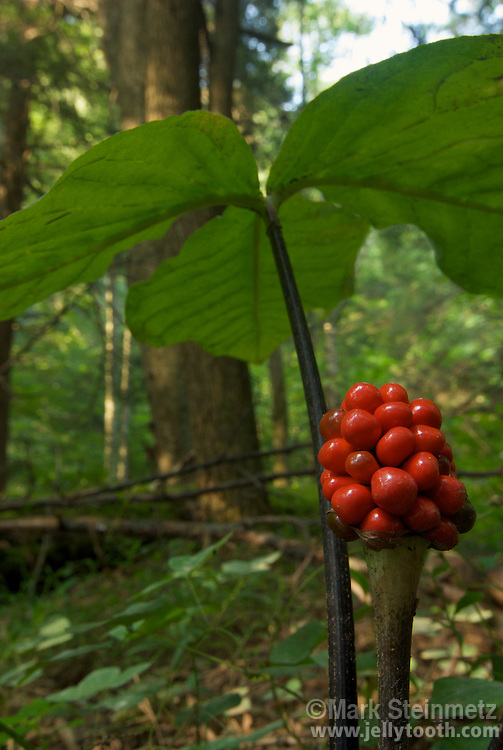 Jack-in-the-pulpit (Arisaema triphyllum) berry cluster, and underneath of trifoliate compound leaf. The berries form over the summer and are initially green, then ripen to red by fall. Native to eastern North America. Also known as Indian Turnip, as the root is edible when cooked and was a food item of Native Americans. West Virginia, USA.