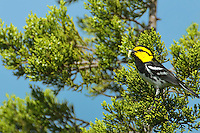 591850011 a wild federally endangered male golden-cheeked warbler setophaga chrysoparia - was dendroica chrysoparia - perches in a fir tree wih food on balcones canyonlands national wildlife refuge travis county texas