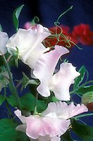 Lathyrus 'Anniversary' pink sweetpeas fragrant annual climbing vine with tendrils sweet peas