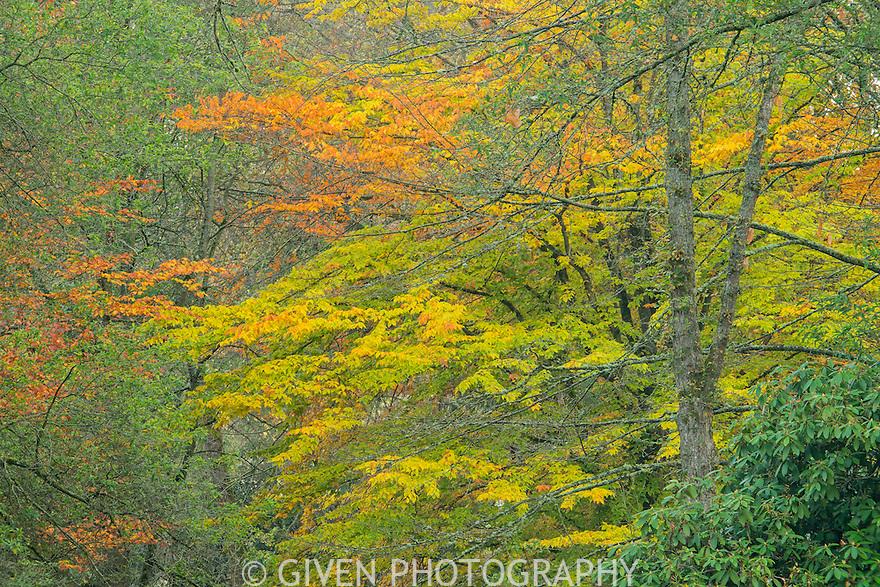 American Beech tree in autumn, Washington