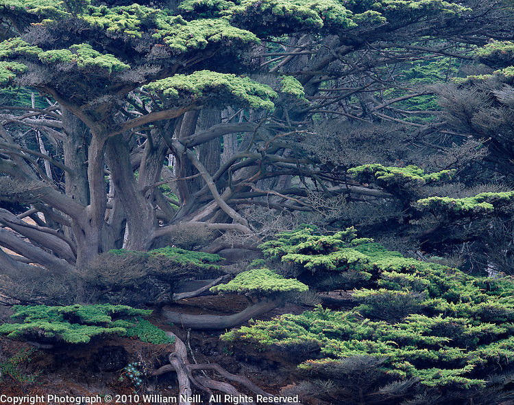 Cypress grove, Pfeiffer Beach, Pfeiffer Big Sur State Park, California  2003
