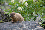 young, yellow-bellied marmot, Marmota flaviventris, along Colorado River Trail, wildlife, red elderberry, summer, afternoon, Rocky Mountain National Park, Colorado, Rocky Mountains, USA