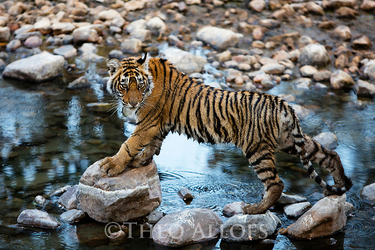 India, Rajasthan, Ranthambhore National Park, Bengal tiger cub walking on rocks in creek