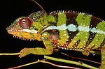 Jungle panther chamelions are known for their ability to change color rapidly. This particular chameleon changed from red to yellow in minutes.